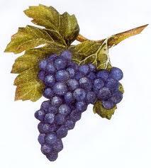 Le vin grappe de raisin