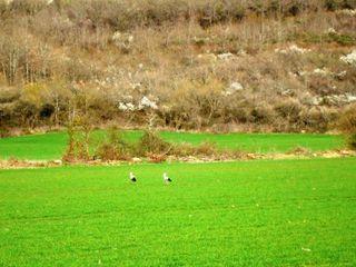 Cigognes à Marciac 2 le 14 03 2011 comp