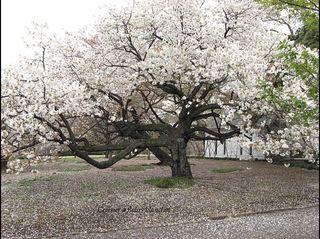 Cerisier-japonais-fleurs-blanches-075-copy